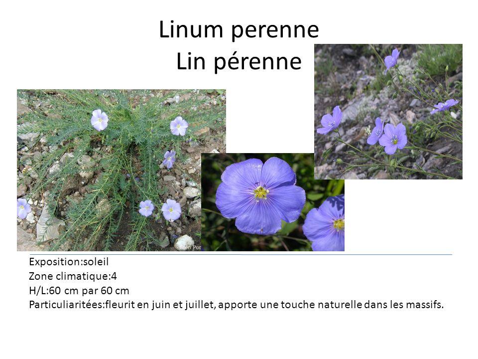 Linum perenne Lin pérenne Exposition:soleil Zone climatique:4 H/L:60 cm par 60 cm Particuliaritées:fleurit en juin et juillet, apporte une touche natu