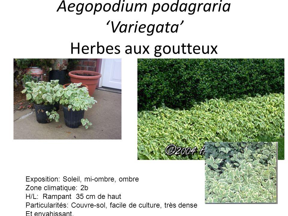 Aegopodium podagraria Variegata Herbes aux goutteux Exposition: Soleil, mi-ombre, ombre Zone climatique: 2b H/L: Rampant 35 cm de haut Particularités:
