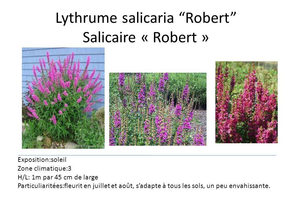 Lythrume salicaria Robert Salicaire « Robert » Exposition:soleil Zone climatique:3 H/L: 1m par 45 cm de large Particuliaritées:fleurit en juillet et a