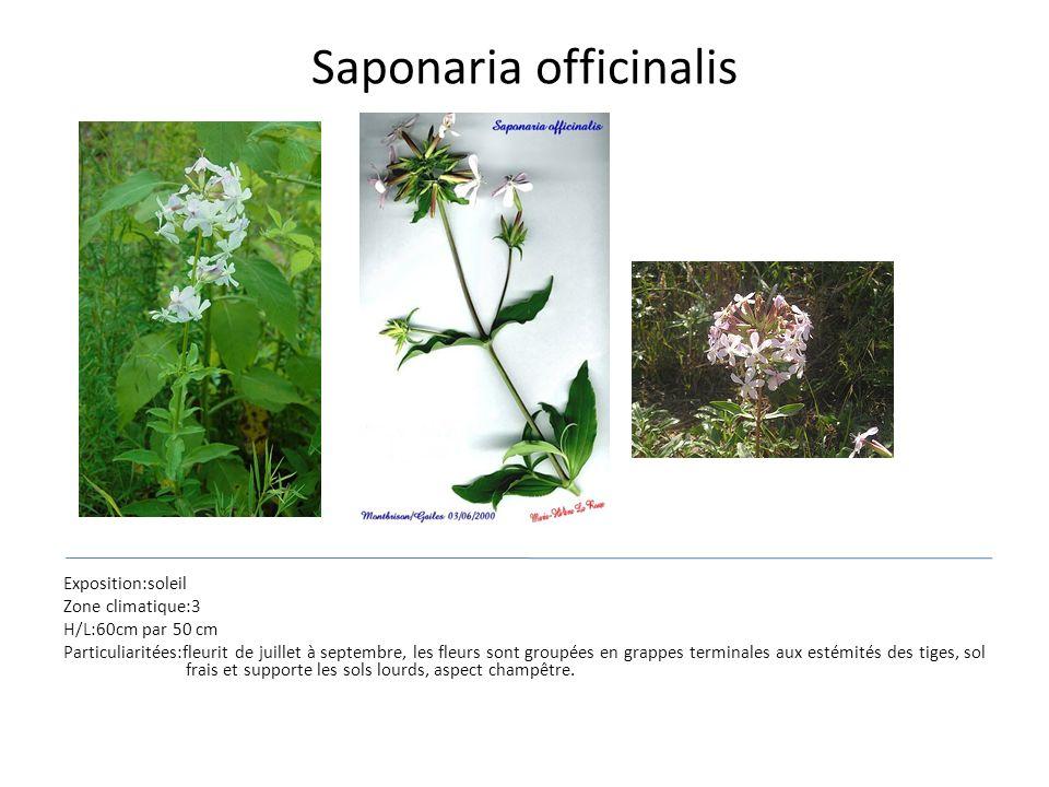 Saponaria officinalis Exposition:soleil Zone climatique:3 H/L:60cm par 50 cm Particuliaritées:fleurit de juillet à septembre, les fleurs sont groupées