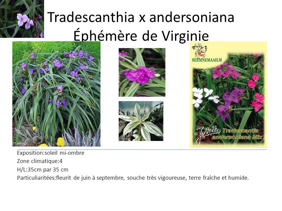 Tradescanthia x andersoniana Éphémère de Virginie Exposition:soleil mi-ombre Zone climatique:4 H/L:35cm par 35 cm Particuliaritées:fleurit de juin à s