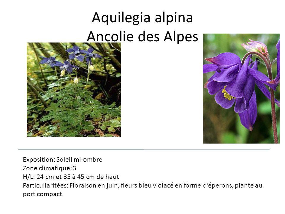 Aquilegia alpina Ancolie des Alpes Exposition: Soleil mi-ombre Zone climatique: 3 H/L: 24 cm et 35 à 45 cm de haut Particuliaritées: Floraison en juin
