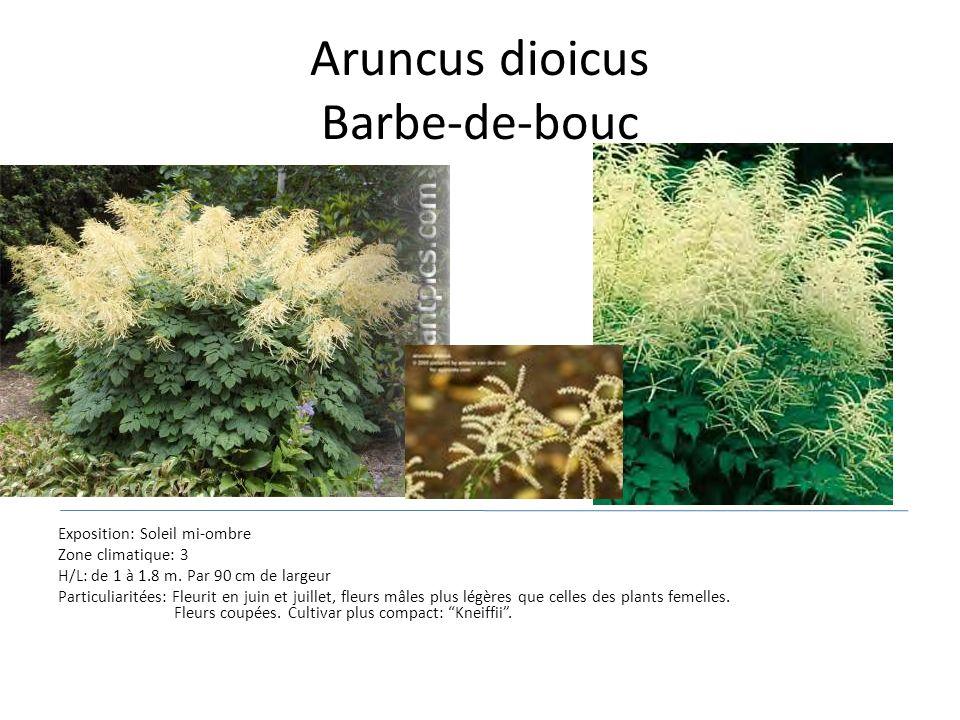 Aruncus dioicus Barbe-de-bouc Exposition: Soleil mi-ombre Zone climatique: 3 H/L: de 1 à 1.8 m. Par 90 cm de largeur Particuliaritées: Fleurit en juin