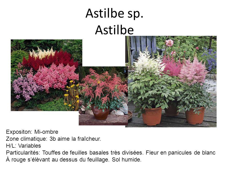 Astilbe sp. Astilbe Expositon: Mi-ombre Zone climatique: 3b aime la fraîcheur. H/L: Variables Particularités: Touffes de feuilles basales très divisée
