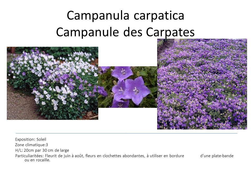 Campanula carpatica Campanule des Carpates Exposition: Soleil Zone climatique:3 H/L: 20cm par 30 cm de large Particuliaritées: Fleurit de juin à août,