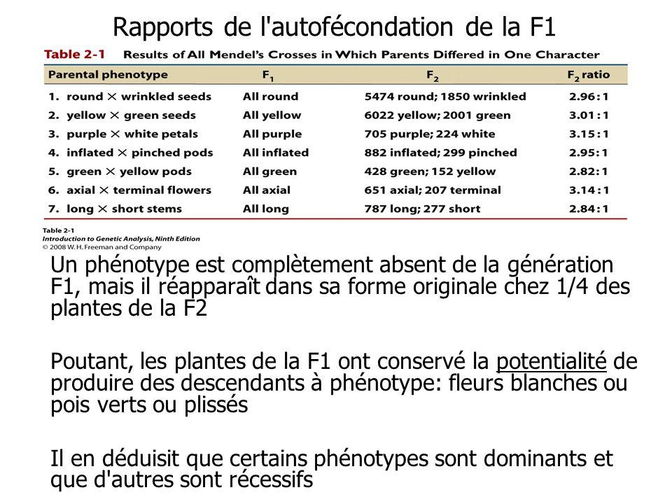 Rapports de l autofécondation de la F1 Un phénotype est complètement absent de la génération F1, mais il réapparaît dans sa forme originale chez 1/4 des plantes de la F2 Poutant, les plantes de la F1 ont conservé la potentialité de produire des descendants à phénotype: fleurs blanches ou pois verts ou plissés Il en déduisit que certains phénotypes sont dominants et que d autres sont récessifs