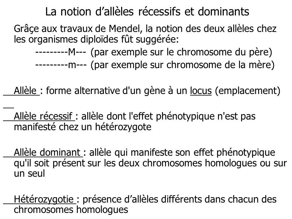 La notion dallèles récessifs et dominants Grâçe aux travaux de Mendel, la notion des deux allèles chez les organismes diploïdes fût suggérée: ---------M--- (par exemple sur le chromosome du père) ---------m--- (par exemple sur chromosome de la mère) Allèle : forme alternative d un gène à un locus (emplacement) Allèle récessif : allèle dont l effet phénotypique n est pas manifesté chez un hétérozygote Allèle dominant : allèle qui manifeste son effet phénotypique qu il soit présent sur les deux chromosomes homologues ou sur un seul Hétérozygotie : présence dallèles différents dans chacun des chromosomes homologues