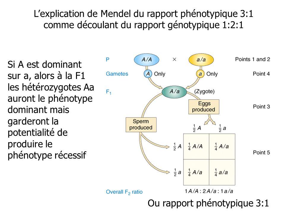 Lexplication de Mendel du rapport phénotypique 3:1 comme découlant du rapport génotypique 1:2:1 Si A est dominant sur a, alors à la F1 les hétérozygotes Aa auront le phénotype dominant mais garderont la potentialité de produire le phénotype récessif Ou rapport phénotypique 3:1