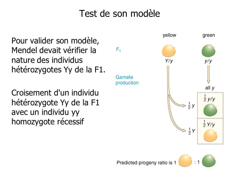 Test de son modèle Pour valider son modèle, Mendel devait vérifier la nature des individus hétérozygotes Yy de la F1.