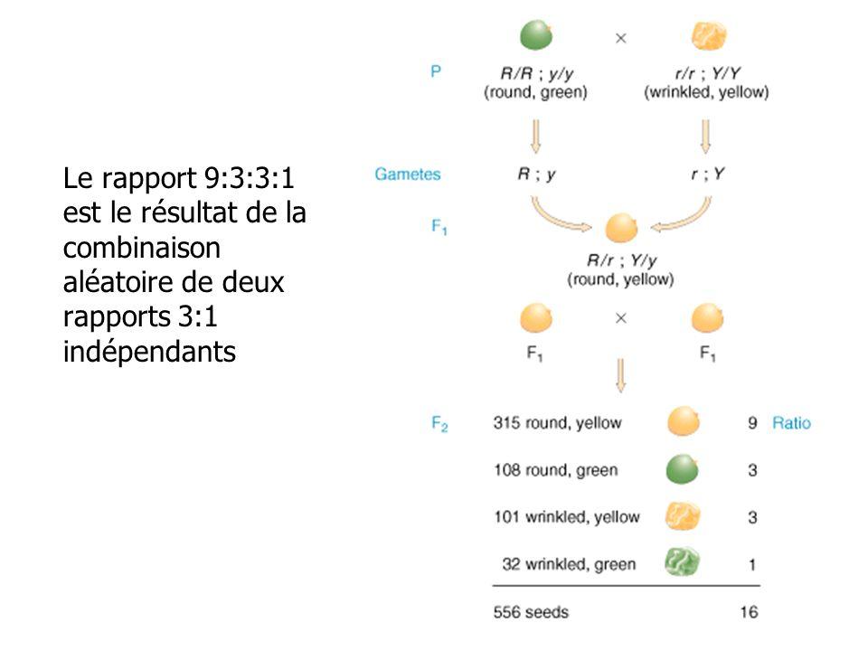 Le rapport 9:3:3:1 est le résultat de la combinaison aléatoire de deux rapports 3:1 indépendants