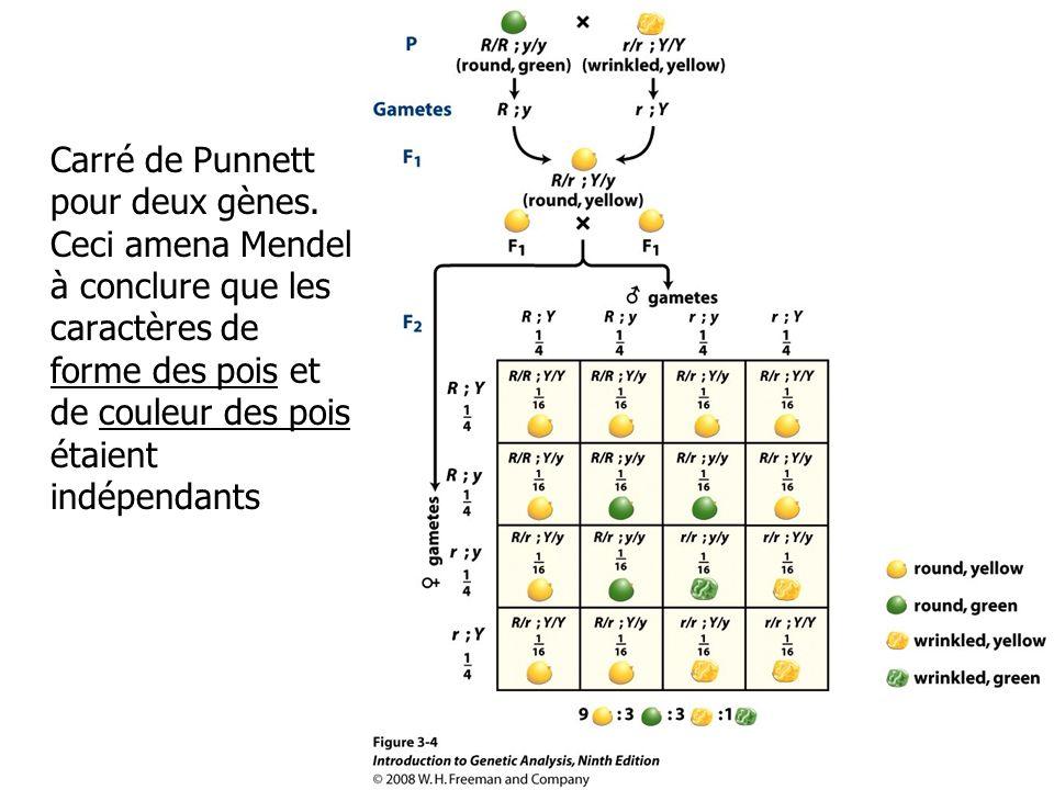 Carré de Punnett pour deux gènes.