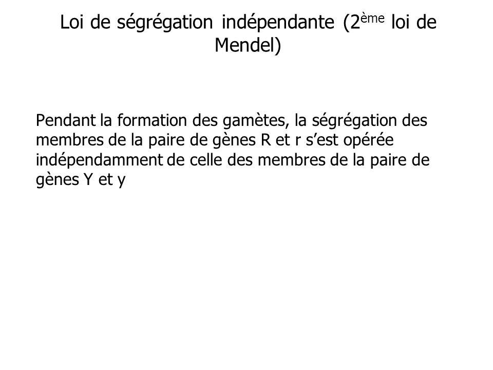 Loi de ségrégation indépendante (2 ème loi de Mendel) Pendant la formation des gamètes, la ségrégation des membres de la paire de gènes R et r sest opérée indépendamment de celle des membres de la paire de gènes Y et y