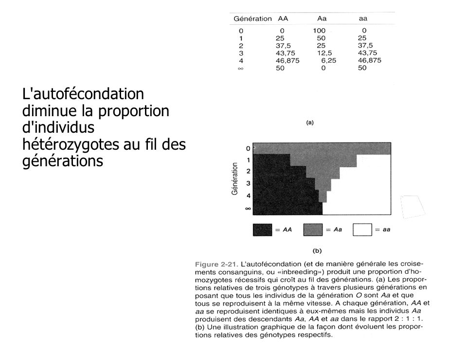 L autofécondation diminue la proportion d individus hétérozygotes au fil des générations