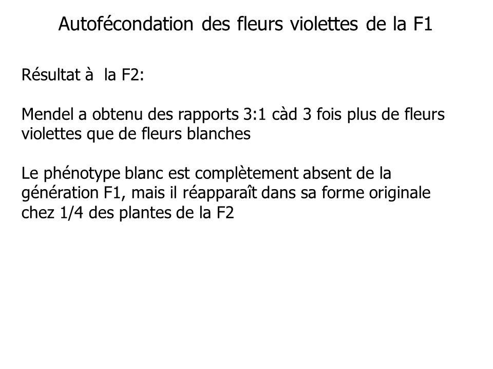 Autofécondation des fleurs violettes de la F1 Résultat à la F2: Mendel a obtenu des rapports 3:1 càd 3 fois plus de fleurs violettes que de fleurs blanches Le phénotype blanc est complètement absent de la génération F1, mais il réapparaît dans sa forme originale chez 1/4 des plantes de la F2