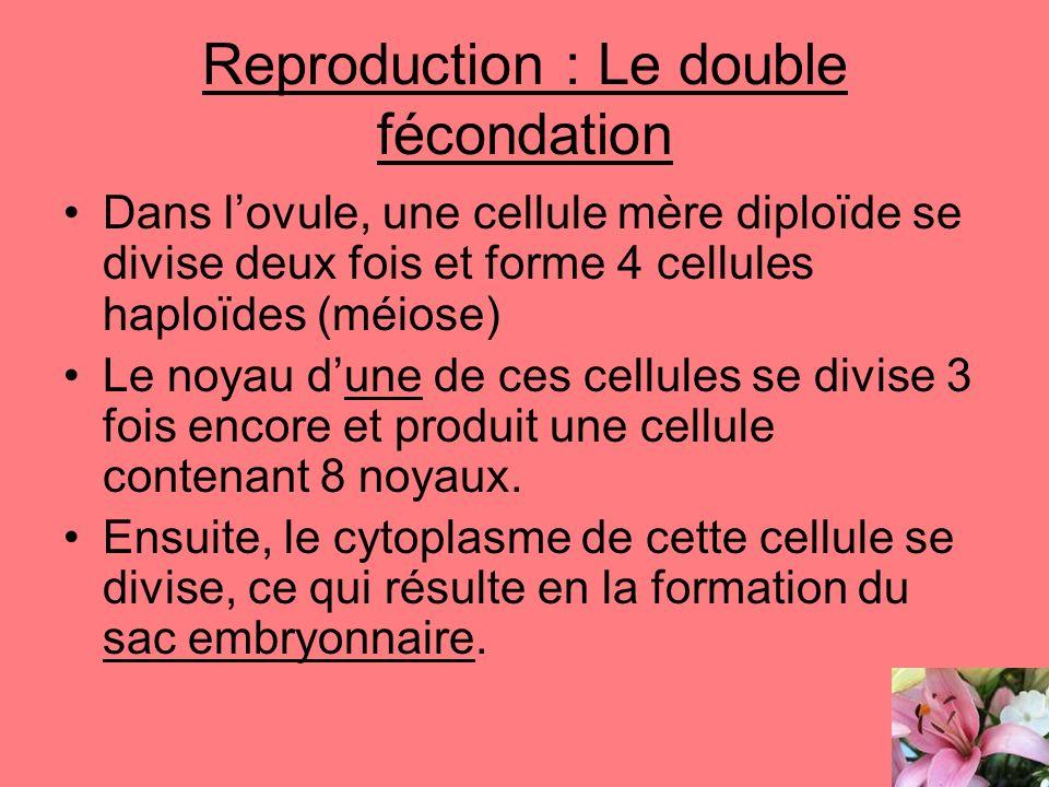 Reproduction : Le double fécondation Dans lovule, une cellule mère diploïde se divise deux fois et forme 4 cellules haploïdes (méiose) Le noyau dune d