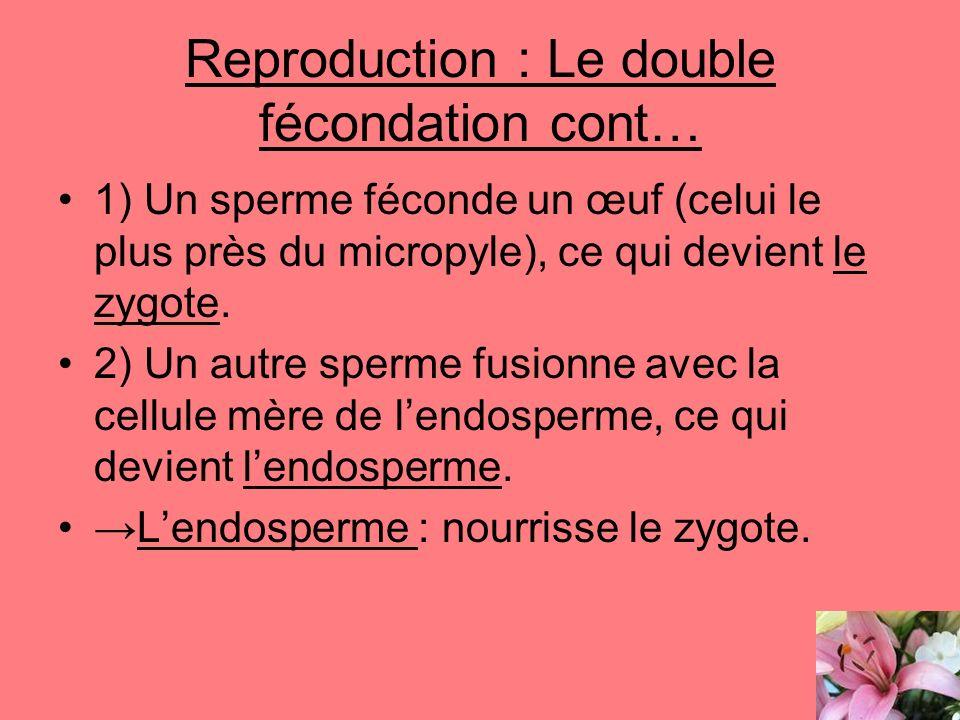 Reproduction : Le double fécondation cont… 1) Un sperme féconde un œuf (celui le plus près du micropyle), ce qui devient le zygote. 2) Un autre sperme