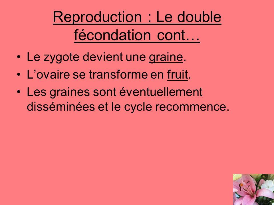 Reproduction : Le double fécondation cont… Le zygote devient une graine. Lovaire se transforme en fruit. Les graines sont éventuellement disséminées e