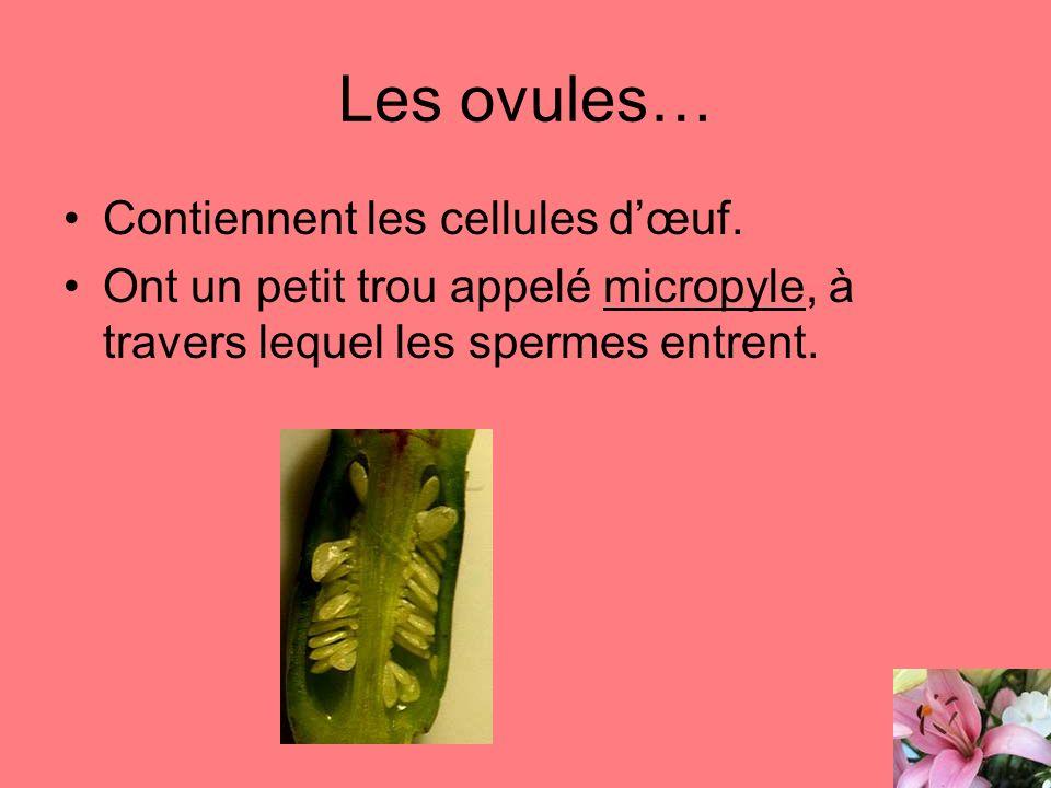 Les ovules… Contiennent les cellules dœuf. Ont un petit trou appelé micropyle, à travers lequel les spermes entrent.