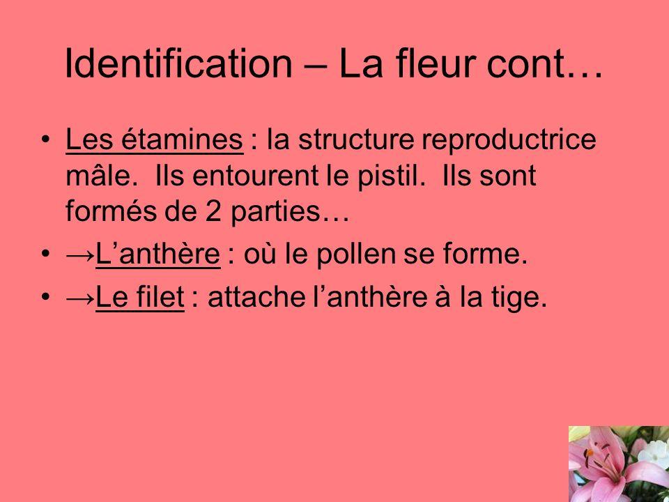 Identification – La fleur cont… Les étamines : la structure reproductrice mâle. Ils entourent le pistil. Ils sont formés de 2 parties… Lanthère : où l