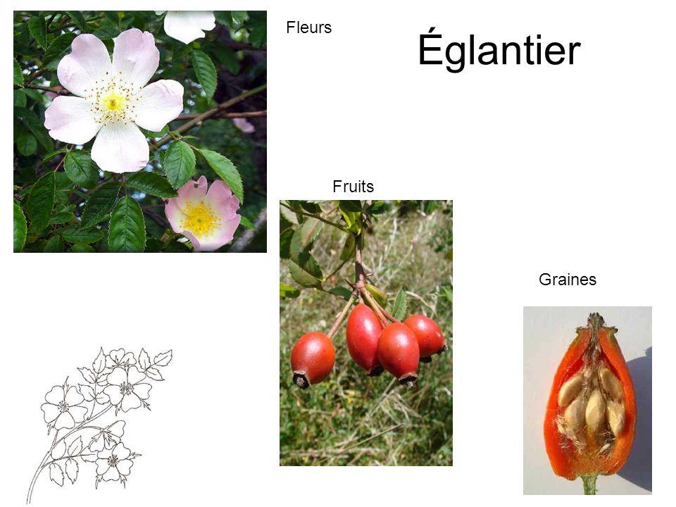 Églantier Fleurs Fruits Graines