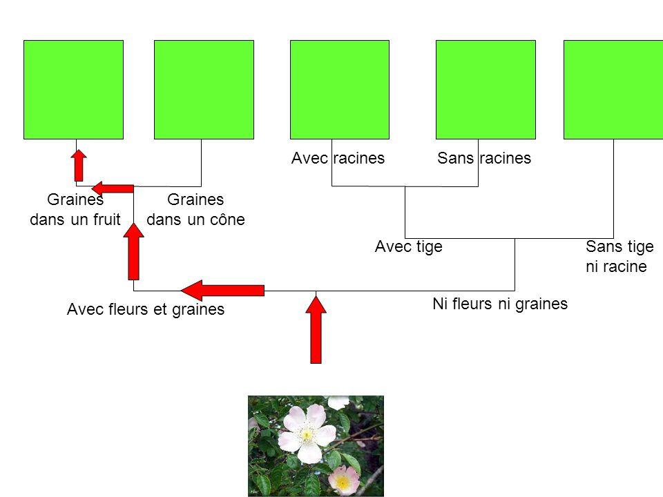 Graines dans un cône Avec racinesSans racines Sans tige ni racine Avec tige Graines dans un fruit Avec fleurs et graines Ni fleurs ni graines
