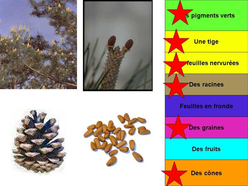 Des pigments verts Une tige Des feuilles nervurées Des racines Feuilles en fronde Des graines Des fruits Des cônes