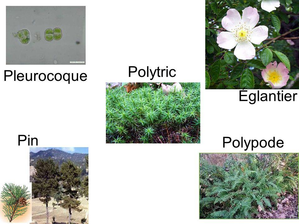 Polypode Pin Églantier Polytric Pleurocoque