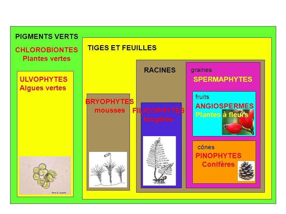 PIGMENTS VERTS TIGES ET FEUILLES RACINES graines fruits cônes ULVOPHYTES Algues vertes CHLOROBIONTES Plantes vertes BRYOPHYTES mousses FILICOPHYTES fo