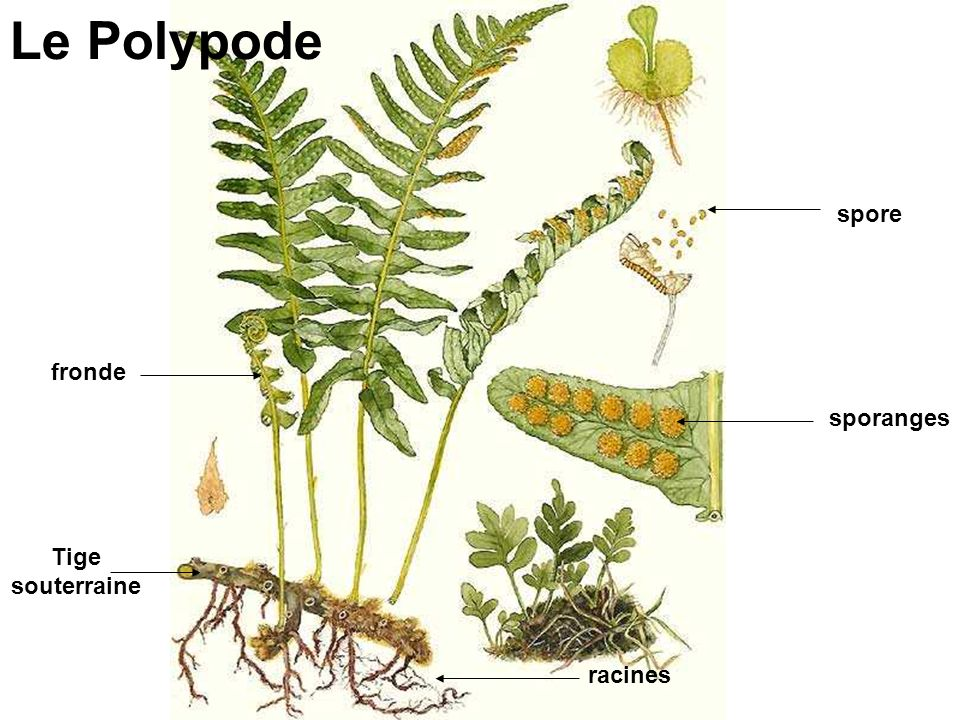 spore sporanges racines Tige souterraine fronde Le Polypode