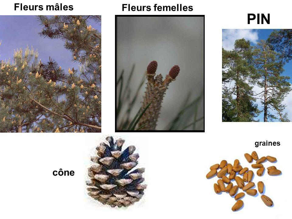 Fleurs mâles Fleurs femelles cône graines PIN