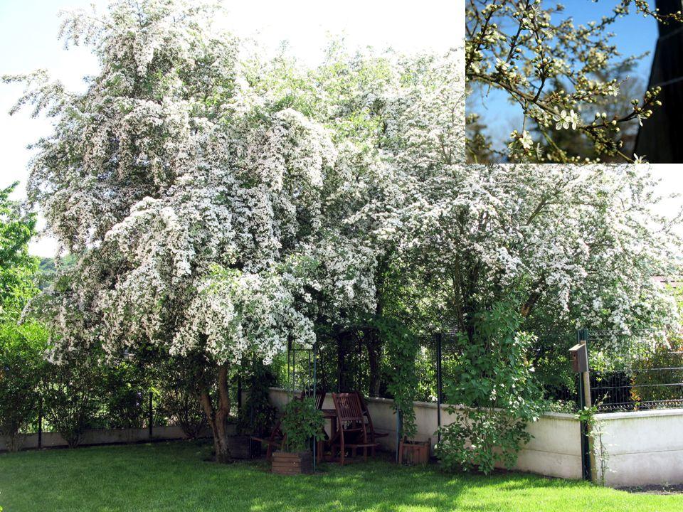 Courbet Gustave Titre : Branche de pommier en fleurs, Fleurs de cerisiers