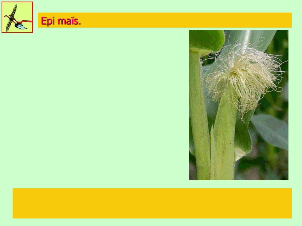 Epi maïs.