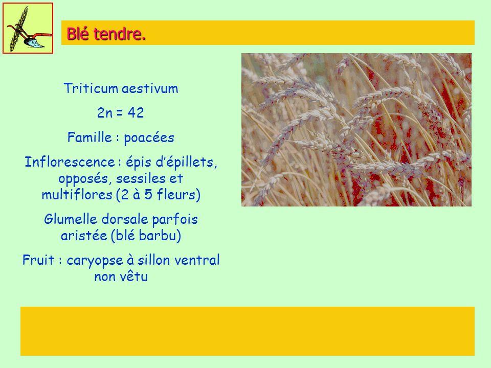 Blé tendre. Triticum aestivum 2n = 42 Famille : poacées Inflorescence : épis dépillets, opposés, sessiles et multiflores (2 à 5 fleurs) Glumelle dorsa