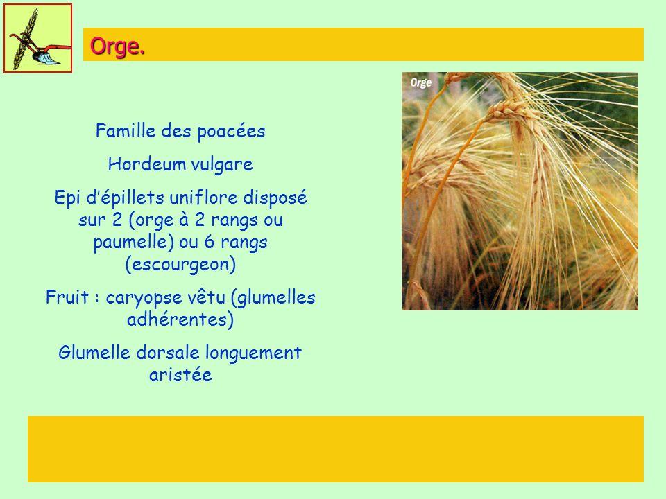 Orge. Famille des poacées Hordeum vulgare Epi dépillets uniflore disposé sur 2 (orge à 2 rangs ou paumelle) ou 6 rangs (escourgeon) Fruit : caryopse v