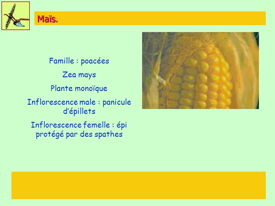 Maïs. Famille : poacées Zea mays Plante monoïque Inflorescence male : panicule dépillets Inflorescence femelle : épi protégé par des spathes