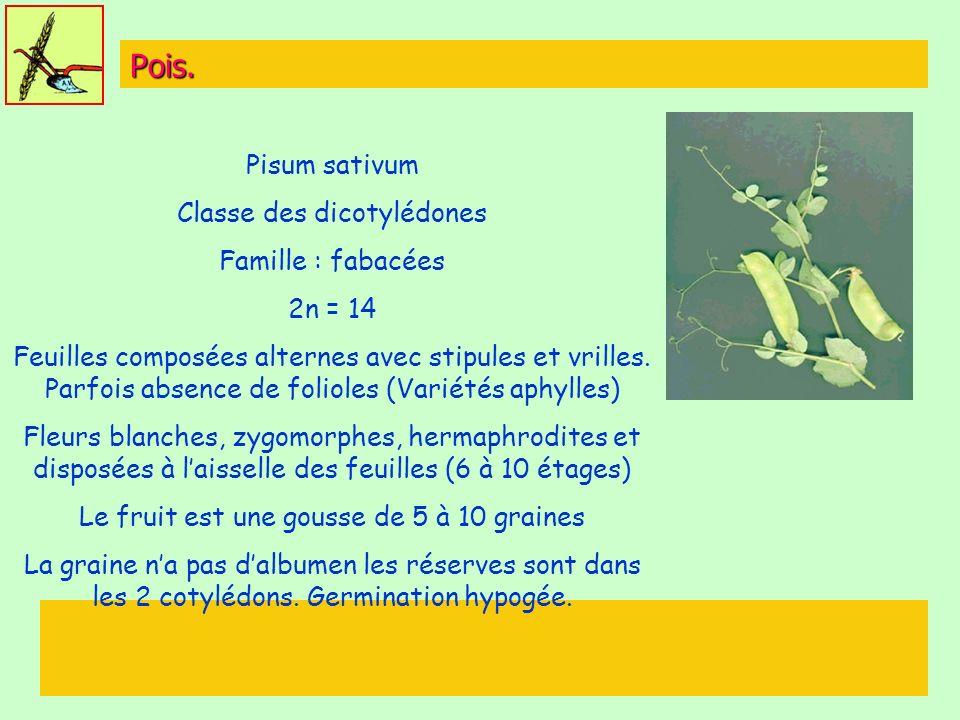 Pois. Pisum sativum Classe des dicotylédones Famille : fabacées 2n = 14 Feuilles composées alternes avec stipules et vrilles. Parfois absence de folio