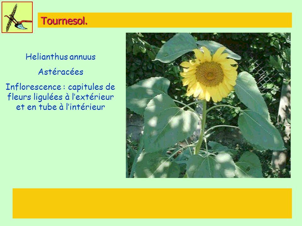 Tournesol. Helianthus annuus Astéracées Inflorescence : capitules de fleurs ligulées à lextérieur et en tube à lintérieur