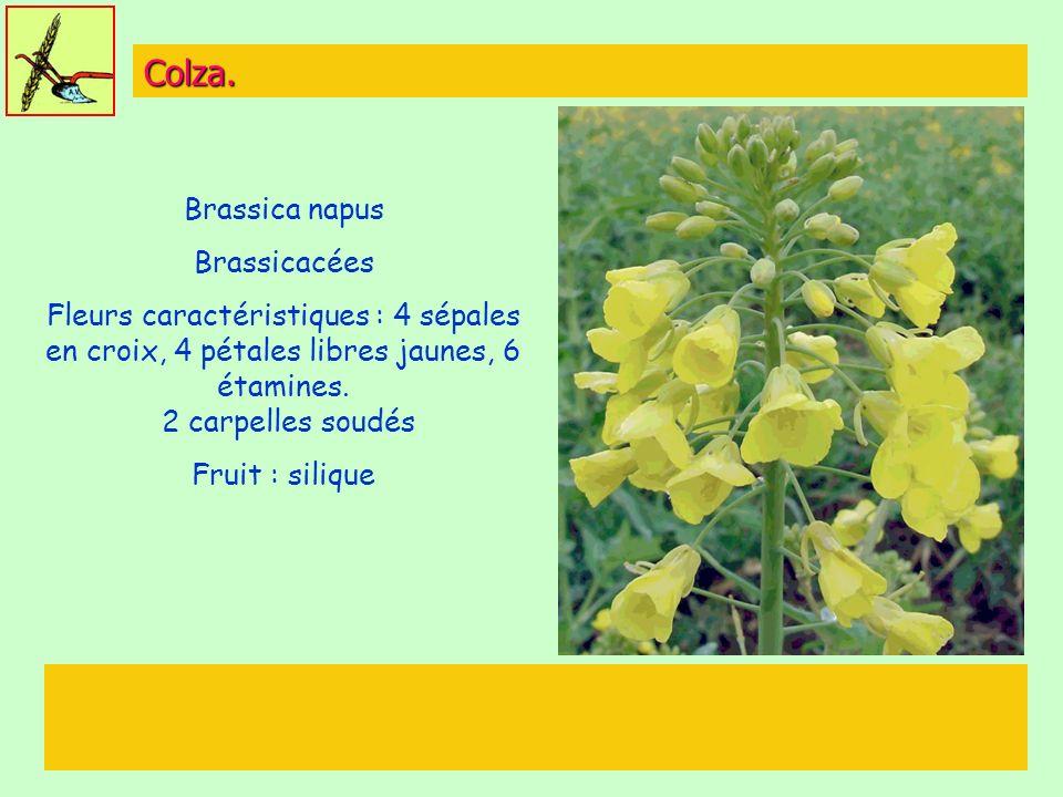 Colza. Brassica napus Brassicacées Fleurs caractéristiques : 4 sépales en croix, 4 pétales libres jaunes, 6 étamines. 2 carpelles soudés Fruit : siliq
