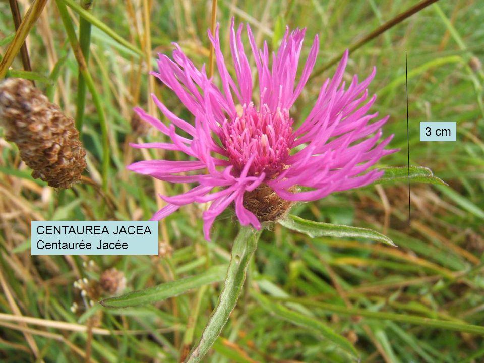 CENTAUREA JACEA Centaurée Jacée 3 cm