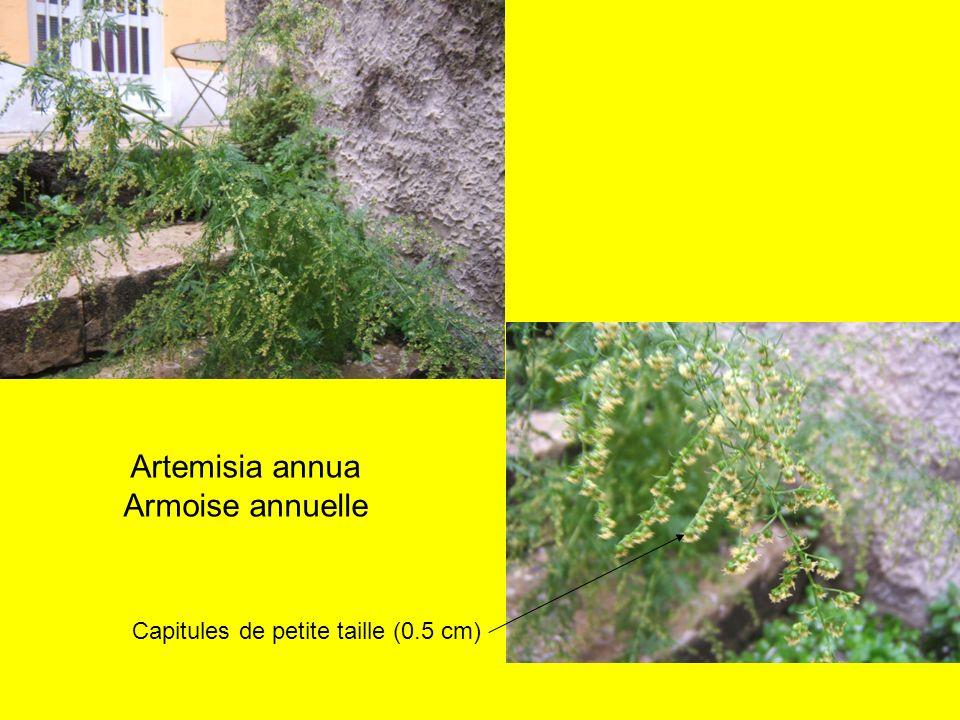 Artemisia annua Armoise annuelle Capitules de petite taille (0.5 cm)