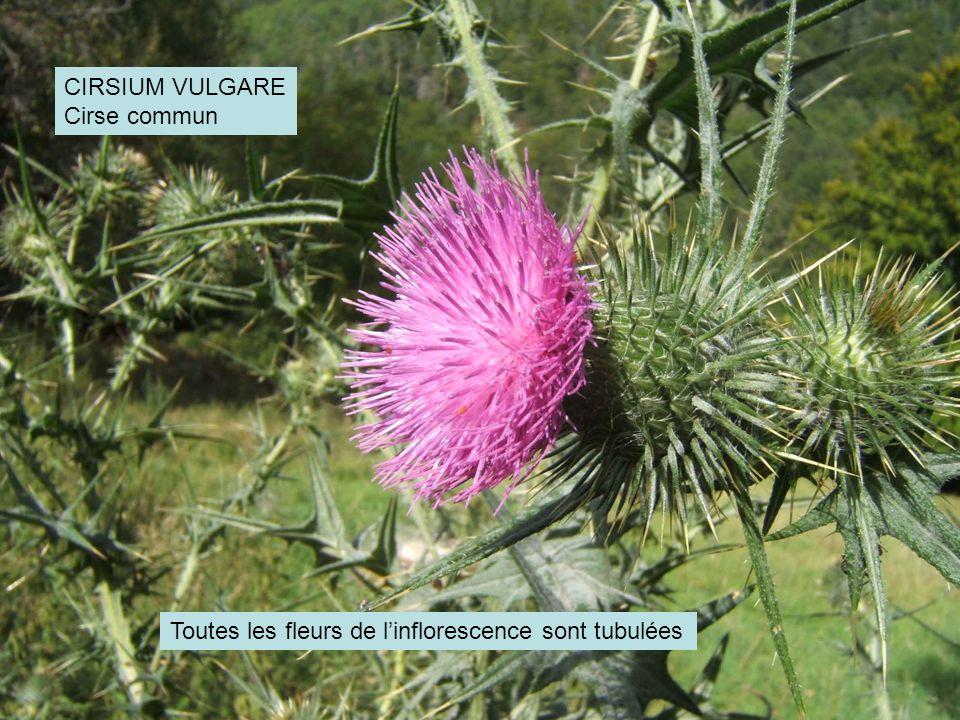 CIRSIUM VULGARE Cirse commun Toutes les fleurs de linflorescence sont tubulées
