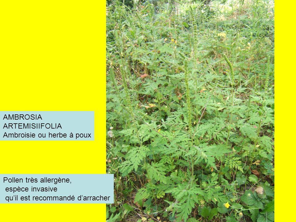 AMBROSIA ARTEMISIIFOLIA Ambroisie ou herbe à poux Pollen très allergène, espèce invasive quil est recommandé darracher