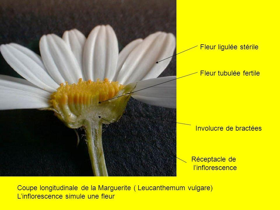 Réceptacle de linflorescence Involucre de bractées Fleur tubulée fertile Fleur ligulée stérile Coupe longitudinale de la Marguerite ( Leucanthemum vul