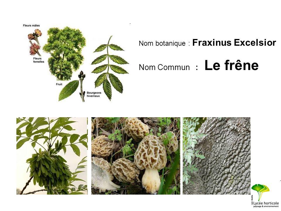 Nom botanique : Fraxinus Excelsior Nom Commun : Le frêne