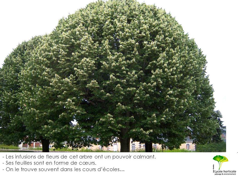 - Les infusions de fleurs de cet arbre ont un pouvoir calmant. - Ses feuilles sont en forme de cœurs. - On le trouve souvent dans les cours décoles…