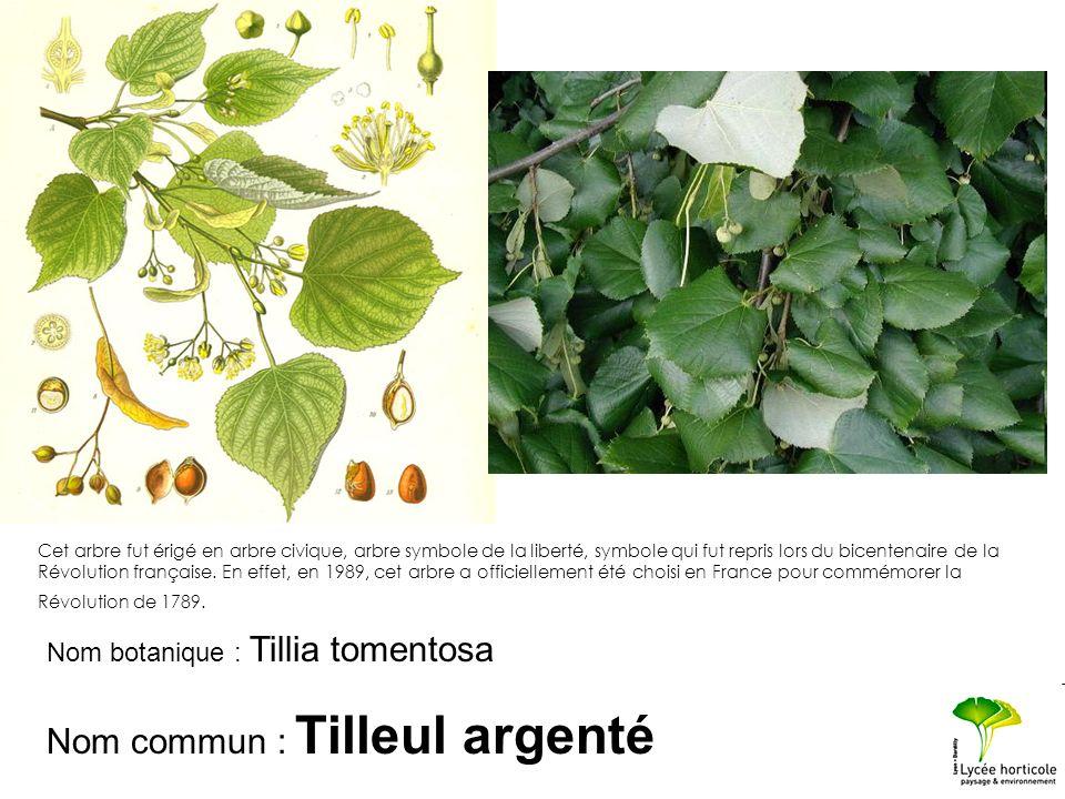 Nom botanique : Tillia tomentosa Nom commun : Tilleul argenté Cet arbre fut érigé en arbre civique, arbre symbole de la liberté, symbole qui fut repri