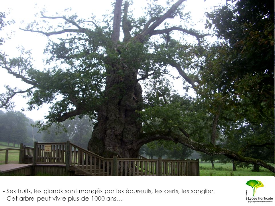 - Ses fruits, les glands sont mangés par les écureuils, les cerfs, les sanglier. - Cet arbre peut vivre plus de 1000 ans…