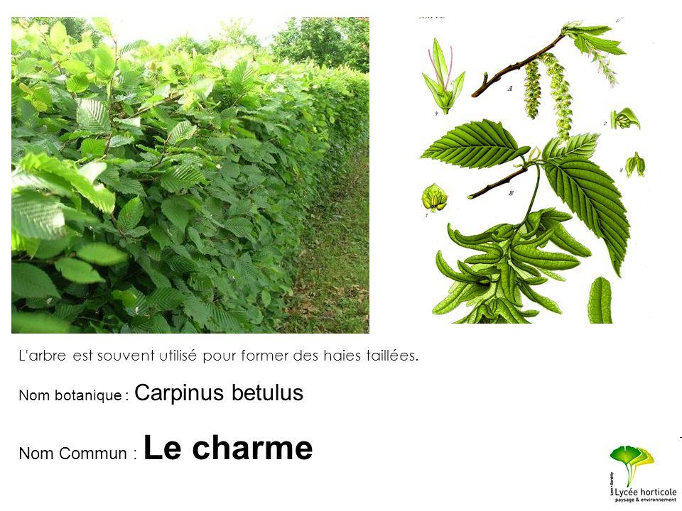 L'arbre est souvent utilisé pour former des haies taillées. Nom botanique : Carpinus betulus Nom Commun : Le charme