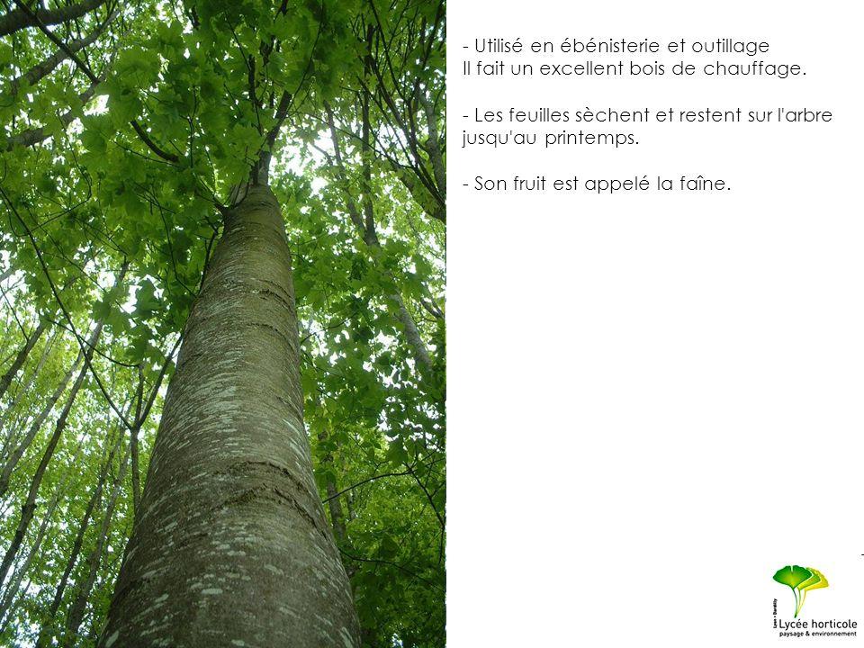 - Utilisé en ébénisterie et outillage Il fait un excellent bois de chauffage. - Les feuilles sèchent et restent sur l'arbre jusqu'au printemps. - Son