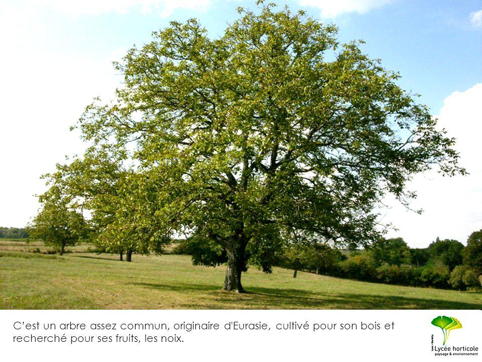 Cest un arbre assez commun, originaire d'Eurasie, cultivé pour son bois et recherché pour ses fruits, les noix.